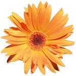 orange gerber daisy picture